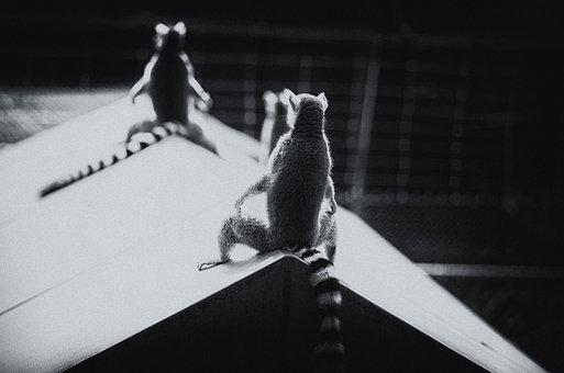Ring-tailed Lemur, Duke Lemur Center, Durham Nc