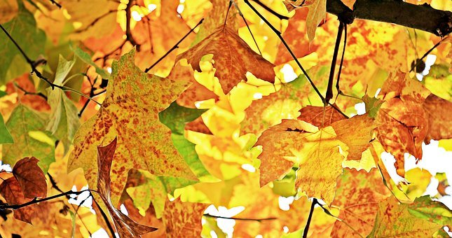 Autumn, Fall Leaves, Leaves, True Leaves, Fall Color