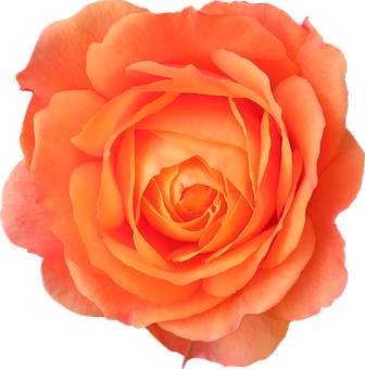 Flower, Orange, Rose, Orange Flower, Flowers Isolated
