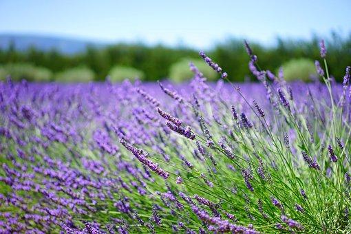 Lavender, Lavender Field, Lavender Flowers, Flowers