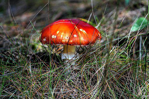 Fly Agaric, Mushroom, Macro, Close, Forest