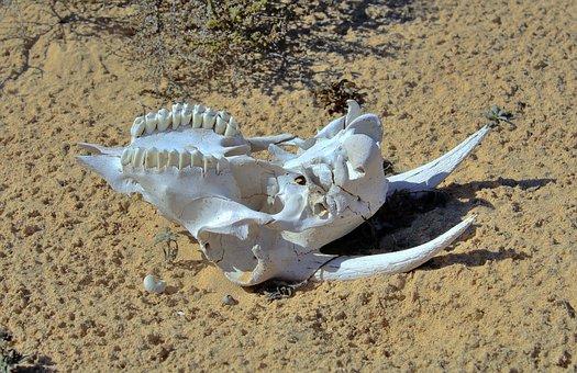Goat, Skull, Skeleton, Dead, Head, Animal, Death