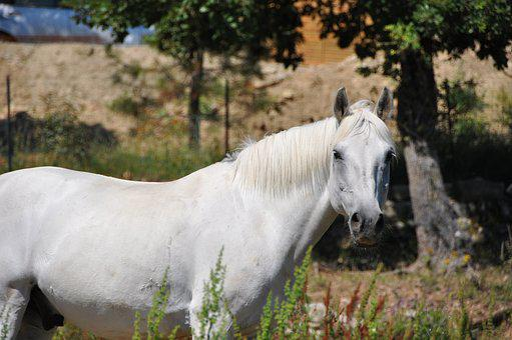 Horse, Head, Look, Eyes, Animals, White, Equine