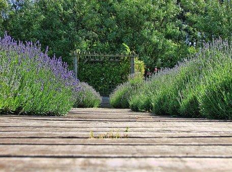 Lavender, Nature, Purple, Flower, Herb, Natural