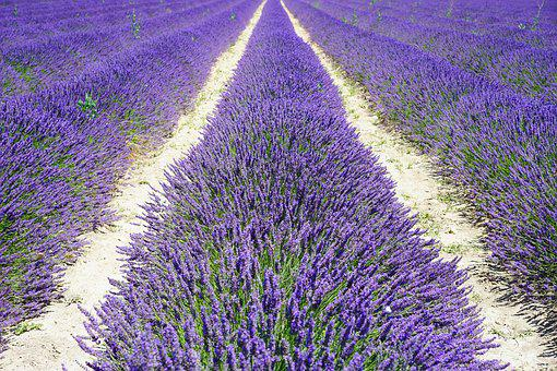 Lavender Field, Lane, Away, Lavender Flowers, Flowers