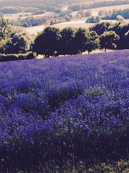 Lavender, Lavender Field, Lavandula Officinalis