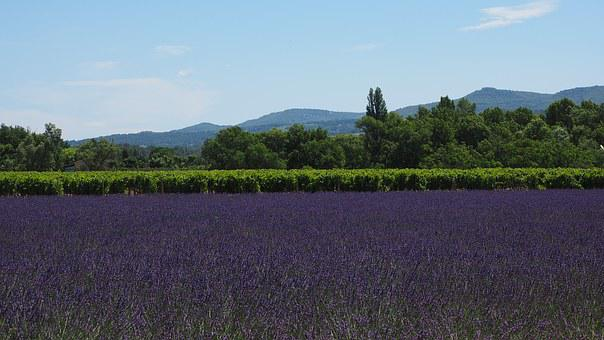 Lavender Field, Lavender, Lavender Cultivation, Purple