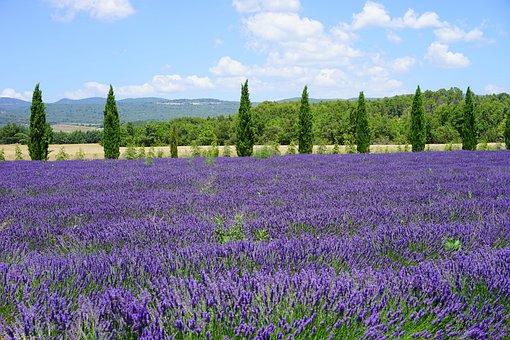 Lavender Field, Cypress, Avenue, Lavender Flowers