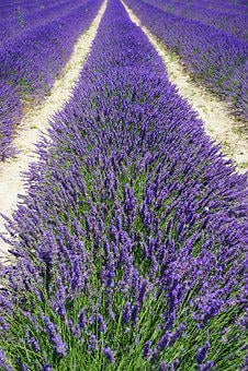 Lavender Field, Lane, Away, Lavender Flowers, Flowers