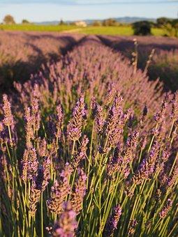 Lavender Field, Lavender, Evening Sun, Lavender Flowers