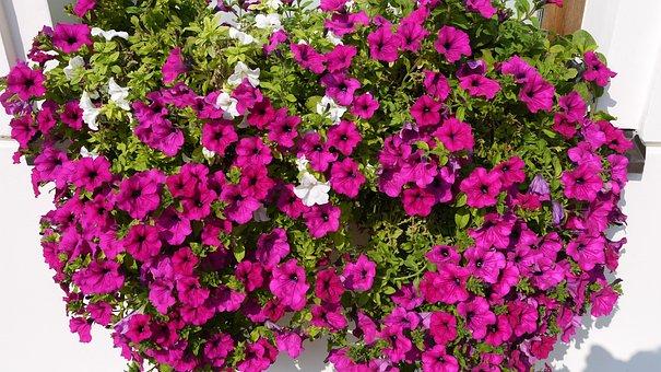 Flower, Purple, Nature, Summer, Violet, Lilac, Petunia