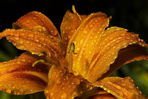 Lily, Daylily, Flower, Blossom, Bloom, Petal, Blooming