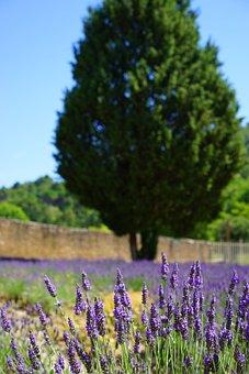 Lavender Cultivation, Field, Management, Lavender Field