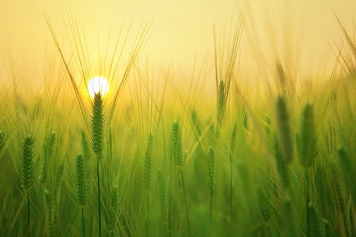 Barley Field, Sunrise, Morning, Solar, Cloud, Landscape