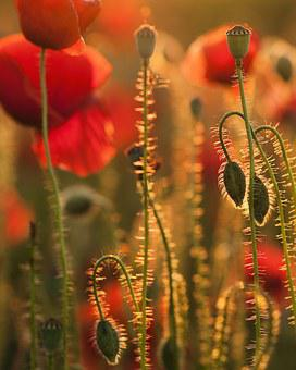 Poppies, Sunset, Nature, Colors, Weed, Flowers, Red