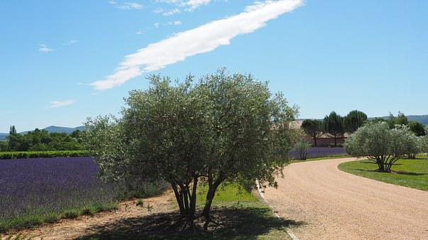 Property, Way, Olive Trees, Lavender Field, Lavender