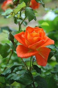 Rose, Orange, Flower, Blossom, Plant, Nature