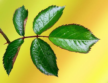 Rosenblatt, Rose, Leaf, Green, Jagged, Flower, Plant