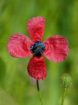 Papaver Hybridum, Poppy, Sad Poppy, Pistils