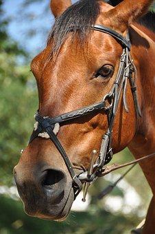 Horse, Head, Portrait, Look, Animals, Brown, Eyes