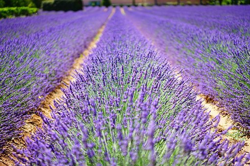 Lavender Flowers, Blue, Flowers, Purple, Dunkellia