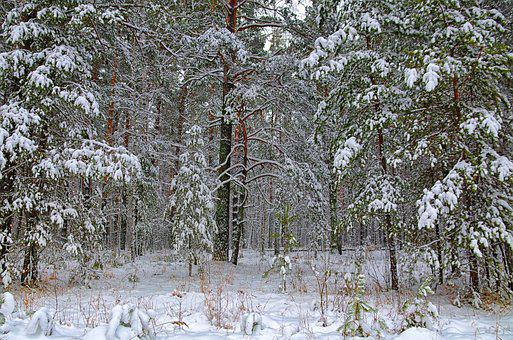 Winter, Forest, Snow, Winter Forest, Trees, Nature