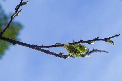 Spring, Shackle, Birch, Branch, Sun, Catkins, Blue Sky