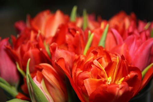 Tulips, Flowers, Red, Orange, Yellow