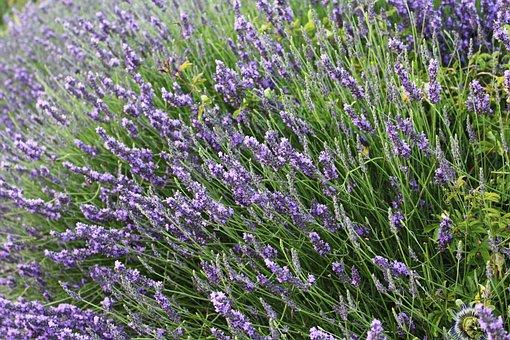 Lavender, Provence, France, Summer, Scents, Violet