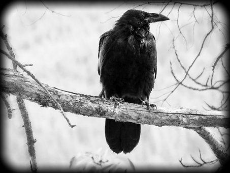 Crow, Bird, Black, Nature, Animal, Wildlife, Outdoors