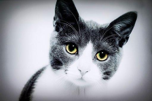 Cat, Yellow Eyes, Domestic, Pet, Animal, Gray