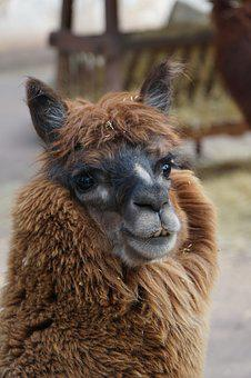 Alpaca, Close, Face, Animal World, Lama, Animal, Mammal