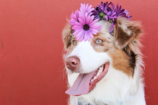 Dogs, Red, Purple, Spring, Summer, Animal, Pet, Puppy