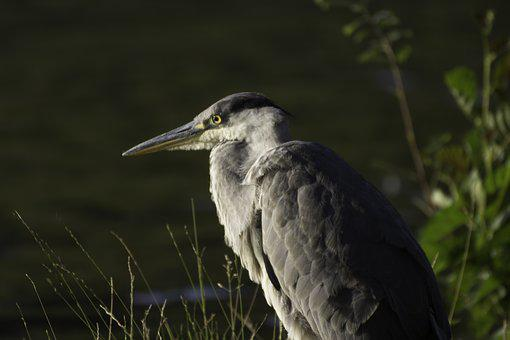 Nature, Heron, Bird, Animal World, Head