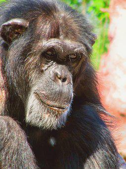 Monkey, Chimpanzee, Animal, Ape, Zoo, Mammal