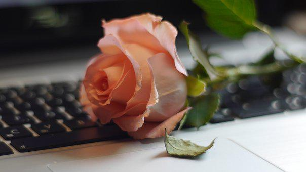 Rose, Keyboard, Still Life, Defoliation, Computer