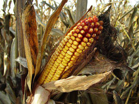 Corn, Corn On The Cob, Fodder Maize, Corn Hair