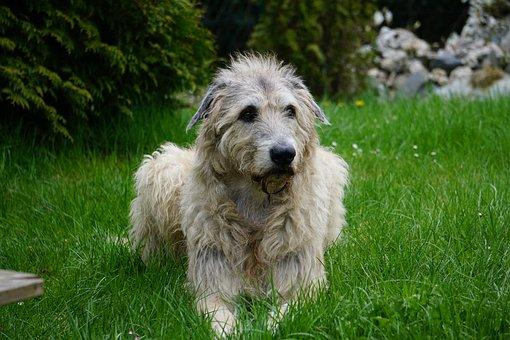 Irish Wolfhound, Dog, Gentle Giant