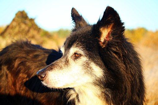 Dog, Border, Herding Dog, Old Dog, Border Collie