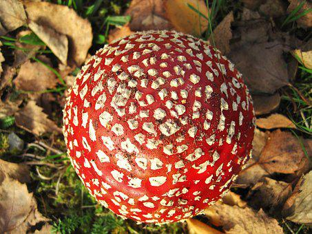 From Above, Fly Agaric, Lucky Guy, Amanita Muscaria
