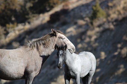 Wild Horses, Mare, Colt, Mother And Baby, Animal, Mane