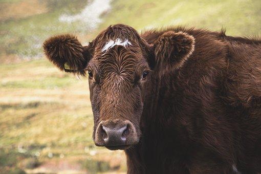 Animal, Cow, Field, Moor, Highland, Livestock, Wool