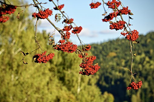 Rowan, Mountain Ash, Red Fruit