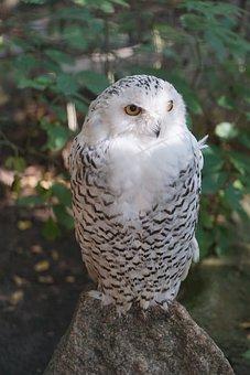 Owl, Snowy Owl, White, Eyes, Bird, Nocturnal, Falconry