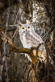 Owl, Nature, Wildlife, Outdoors, Forest