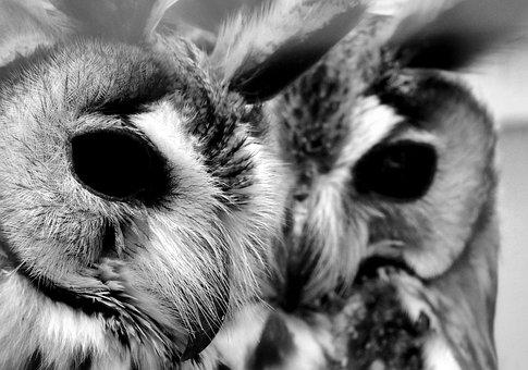 Owl, Owls, Black White, Black, Eye, Eyes, Animal