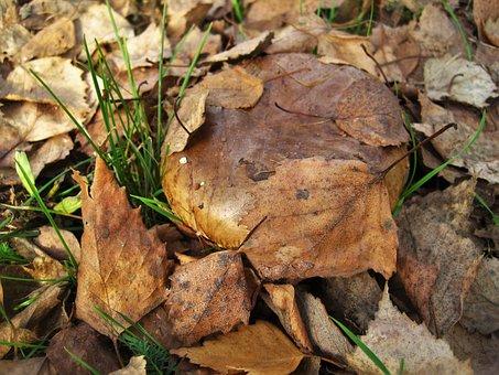 Bare Shuffletruffle, Paxillus Involutus, Mushroom Genus