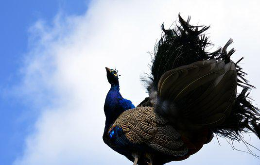 Peacock, Galliformes, Pavo Cristatus, Bird