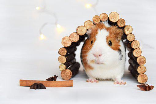 Guinea Pig, Pig, Animal, Pet, Cute, White, Furry