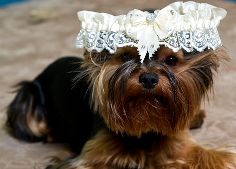 Puppy, Dog, Animals, Home, Yorkshire Terrier, Each, Pet